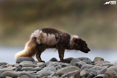 Head to the Wind (birdtracker) Tags: arcticfox fox arctic mammal iceland rocks shore markmedcalf markmedcalfphotography canoneflens nature wildlife