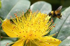 20170713 Oak Bay Bee and St. John's Wort (Robert Harwood) Tags: nikon d7500 7500 bee flower yellow victoria oakbay vancouverisland britishcolumbia canada stjohnswort