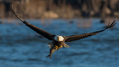Bald Eagle With Fish (Vic Zigmont) Tags: wildlife birds eagels raptor birdinflight eaglewithprey eagleinflight