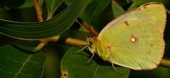 libera... (andrea.zanaboni) Tags: farfallagialla farfalla butterfly giallo yellow nikon macro summer estate macrodreams