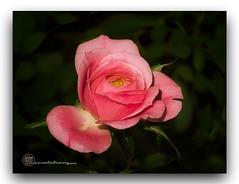 DELICADA. (manxelalvarez) Tags: rosarosae rosa flores flora