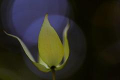 flower 1211 (kaifudo) Tags: sapporo hokkaido japan nikon d810 sigmaapomacro150mmf28 sigma 150mm macro benthamidiajaponica flower 北海道 札幌 北大植物園 ヤマボウシ