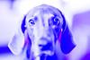 v (VanaTulsi) Tags: vanatulsi weim weimaraner dog blueweim blueweimaraner