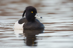 Tufted duck (Aythya fuligula) (Ville.V.) Tags: tufted duck aythya fuligula bird birding wild wildlife finland suomi