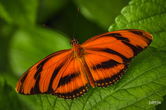 Banded Orange  (dryadula phaetusa) (jt893x) Tags: 105mm afsvrmicronikkor105mmf28gifed bandedorange butterfly d810 dryadulaphaetusa insect jt893x macro nikon