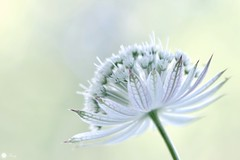 Opulence (Trayc99) Tags: flower floralart floral petals white beautyinnature beautyinmacro beautiful macro astrantia