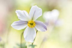 Anemone (Mandy Disher) Tags: white anemone summer flower wildswan