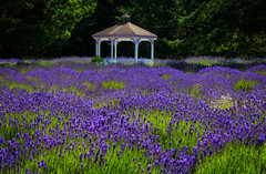 Lavender Dream (louelke - off and on for a while) Tags: lavender gazebo sequim washingtonstate olympicpeninsula purple bloom smells sweet