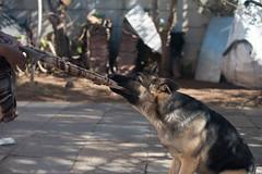 Thug of war (Rushay) Tags: 50mm alsatian canine dog germanshepherd nikond810 portelizabeth pulling southafrica thugofwar