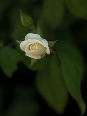 A foggy morning (Hanna Tor) Tags: nature flora flower rose white macro grass green hannator beauty garden stilllife summer fogg