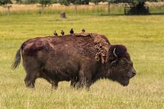 Bison and Birds (Maryann's*****Fotos) Tags: batavia fermilab illinois mffotosoldsaybrook bison birds perched prairie
