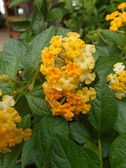 Lantana camara L. Verbenaceae-Lantana, พกากรอง 1 (SierraSunrise) Tags: flowers nongkhai phonphisai plants shrubs thailand verbenaceae yellow