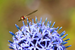 Globetrotter (Ron and Co.) Tags: echinopsexaltatus globe globethistle flower ball macro spines blue hoverfly insect syrphidae