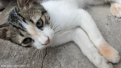 Lovely cat (Mm_photography16) Tags: algeriancat cat chat pussycat gato lovelyanimals cute galaxys6 mmphotography