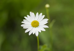 July Daisy (HattyGlaird) Tags: flower nature scotland pink purple green outside happy summer spring bloom 50mm nikon d3300 plant plants petals