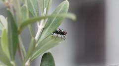 Pascal Bonnet - Lucilia sericata (shynyphotographe) Tags: insecte mouche animal nature faune exterieur proxi
