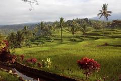 Lush (Canis lupus alba) Tags: kawah ijen kawahijen indonesia java licin banyuwangi rice paddy