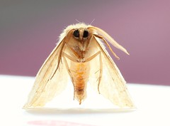 2017-07-20_09-13-49 (eospaddy) Tags: moth housemoth macro bugs insects