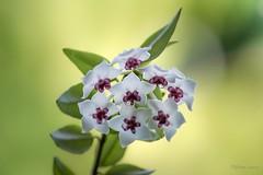 The Waxplant has tears (of joy - I hope) (Different Aspects) Tags: 7dwf wednesday macroorcloseup macro flower waxplant flickrfriday abitoforder hoya