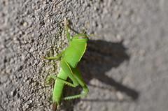 Blue eyed grasshopper (dfromonteil) Tags: sauterelle grasshopper insect insecte bug vert green blue bleu grey gris wall mur shadow ombre macro bokeh dof texture animal nature light lumière