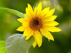 Sunflower (mahar15) Tags: asteraceae plant yellow flower nature outdoors sunflower bloom petals summer yellowflower