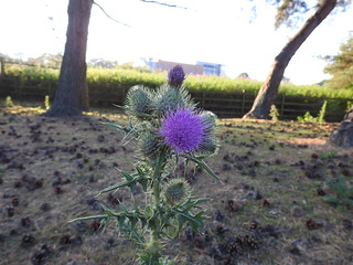 A GIFT OF A THISTLE