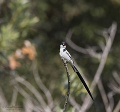 _J3A7155 7D Mark ll Tamron 150-600mm G2 Pin-tailed Whydah male (greaves_russell) Tags: bigmorongocanyonpreserve boxcanyonrd nature animals tattoodesigns tattoos fitness travel sprint overstock people music flickr dancingwiththestars games oops bing foxnews espn cars target bestbut bolsachicawetlands wildlife jobs locations typesofclothing professions days hours minutes dog cat fish bird cow moon world earth forest sky plant wind flower amazon ocean river mountain rain snow tree sanjoaquin anzaborrego huntingtonbeach disneyland knottsberryfarm sandiego forsterstern