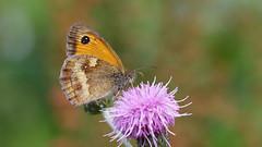 Gate Keeper - Maniola tithonius (jaytee27) Tags: gatekeeper maniolatithonius naturethroughthelens