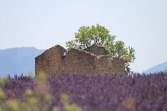 IMG_2125 (Toulon1984) Tags: valensole lavande nature champs