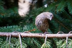 House Finch, Female (Juvenile) (Anne Ahearne) Tags: bird birds nature wildlife animal spruce tree finch