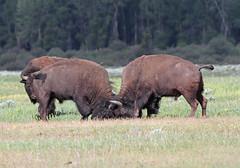 American bison (Bison bison), (TG23-Birding in a Box) Tags: americanbison bisonbison plainsbison bison buffalo grandtetonnationalpark wyoming