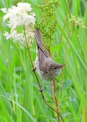 Reed Warbler (gillybooze) Tags: ©allrightsreserved bird reedwarbler birdwatcher dof outdoor bokeh reeds flower