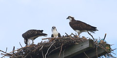 What are you looking at! (emmaellathomas) Tags: birds birdsnest osprey immatureosprey