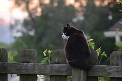 Kitty Pretty on guard (matthew.vortex) Tags: lighting sunset d3300 nikon aps digital composition framing kentucky fence kitten feral wild cat