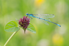 Coenagrion puella (Prajzner) Tags: blue coenagrion puella coenagrionpuella azuredamselfly damselfly odonata nikond7100 macro novoflexcastelxqii sigma105mmmacro manfrottomt190xpro3 manfrotto
