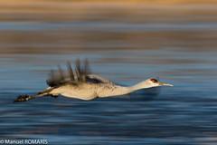 Sandhill Crane (Manuel ROMARIS) Tags: bosquedelapache sandhillcrane usa national wildlife refuge newmexico reserve