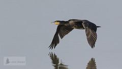 Cormorán grande (Phalacrocorax carbo) (jsnchezyage) Tags: cormorángrande phalacrocoraxcarbo ave pájaro fauna naturaleza birding bird vuelo