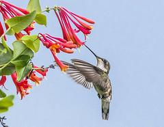 Ruby Throated Hummingbirs (jerryherman1) Tags: bird nature nikor200500f56 hummingbird rubythroatedhummingbird maryland bif birdinflight wildlife patuxentnwr