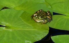 Green camouflage. And some gold. - Froschkönig. (Gerlinde Hofmann) Tags: germany bavaria franconia town erlangen botanicalgarden frog waterplant pond leaf green explore