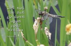 Resting Dragonfly (Glenda Hall) Tags: insect macro dragonfly creature nature wildlife canon80d canada dutchlake clearwater britishcolumbia westerncanada glendahall 55mm kitlens canon1855 bibleverse scripture text gimp inspirational christian god anger wrath leaves irises iris wings resting ephesians bible