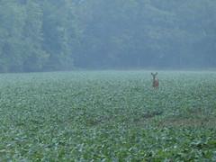 McKee-Beshers Wildlife Management Area Jul 17, 2017, 6-013 (krossbow) Tags: marylanddnr deer fog lumix maryland marylanddepartmentofnaturalresources mckeebeshers mist montgomerycounty morning panasonic photolemur poolesville summer sunrise tz90 wildlifemanagementarea wma zs70