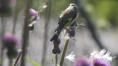goldfinch on melancholy thistle (BSCG (Badenoch and Strathspey Conservation Group)) Tags: acm bird go finch thistle feeding