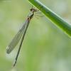Emerald damselfly (kimbenson45) Tags: emeralddamselfly odonata wickenfen closeup damselfly differentialfocus eyes grass green insect macro nature plant shallowdepthoffield wings