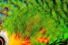 Parrot feathers (donjuanmon) Tags: donjuanmon nikon macro macromondays parrot feathers hmm red yellow green white black texture