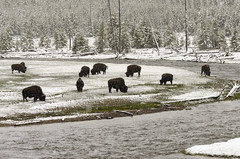Bison and Snow (rschnaible) Tags: yellowstone national park us usa west western wyoming sightseeing outdoors tour tourist bison grazing snow snowing snowfall water gibbon river landscape herd wildlife animal wild