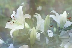 A bunch of Lilium longiflorum (Wim van Bezouw) Tags: sony ilce7m2 flower lily nature plant