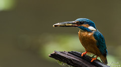 Fütterung der zweiten diesjährigen Brut. Wildlife,Wümmeniederung-Bremen. ©Arne Flemke (Cristoforo Colombo) Tags: kingfisher eisvogel wümme wümmewiesen bremen blockland