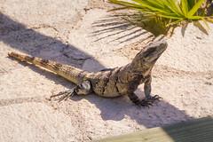 Iguana (Jerry Bowley) Tags: rivieramaya xelha ecopark iguana allinclusive