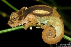 Bradypodion ngomeense - Ngome Dwarf Chameleon. (Tyrone Ping) Tags: bradypodion ngomeense ngome dwarf chameleon bradypodionngomeensengomedwarfchameleonfromngomeforest kwazulunatalhttpwwwtyronepingcozachameleonsbradypodionngomeense tyroneping wwwtyronepingcoza dwarfchameleon africa animals african wild wildlife wildherps wildanimals wilderness forest nature natural natal rare canon closeup canon7d 100mmmacrof28 mt24ex macro close up explore cute