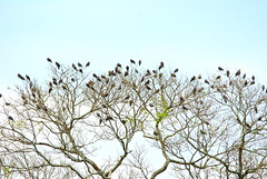 Pale-vented Pigeon (helmutnc) Tags: hennysanimals hg specanimal sweetfreedom